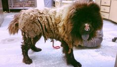Chow Chow saved in Kansas City with over 5 lbs. of matted hair Matted Hair, Pet News, Stop Animal Cruelty, Spaniel Dog, Save Animals, Animal Projects, Jpg, Animal Shelter, Rescue Dogs