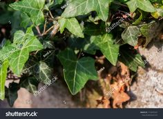 Green ivy leaves around the stone Ivy Leaf, Plant Leaves, Stone, Green, Plants, Rock, Stones, Plant, Batu