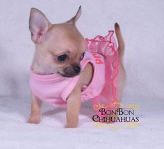Little Chihuahua Princess