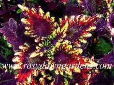 Coleus Blairs Witch - Rosy Dawn Gardens