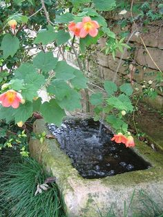 Abutilon (shade/dappled sun) and trough fountain