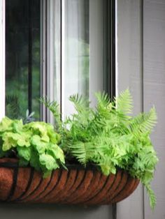 ferns in a windowbox