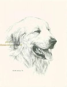 drawing a great pyrenese dog  | GREAT PYRENEES * dog art print * Pen and ink drawing * Jan Jellins