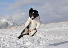 Karelian Bear Dog is a very versatile dog. But it is primarily intended for hunting bears, foxes and moose. It is also called and Karjalankarhukoira. Spitz Dogs, Bear Dogs, Hunting Dogs, Husky, Corgi, Fox, Creatures, Cute, Animals