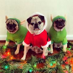 2013 Pug Holiday Card - Follow us on Instagram: @zoereagan