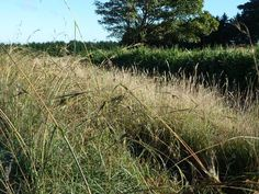 native grasses for landscaping