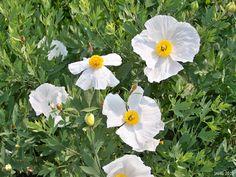 Romneya coulteri (matilla poppy)   Bush poppy- gorgeous!