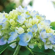 Endless Summer® Hydrangea is temporarily unavailable