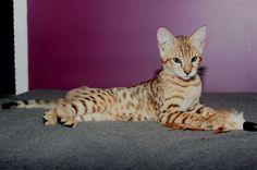 Savannah Kittens For Sale - Kittens