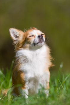 Sunshine Loving Chihuahua