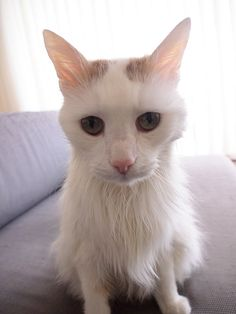 Turkish Van cat pictures. Click through to see more http://avalon-lion.blogspot.be/