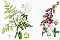 This botanical drawing of two common poisonous plants (hemlock on the left and foxglove on the right) was published in 1890. Universal History Archive/UIG via Getty Images