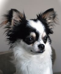 I'm a Papillon lover, but attracted to the long haired Chihuahuas as they resemble Paps in a way. When walking my Pap, people often ask if Sashi is a long hair Chi.