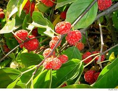 List of Uncommon Cold Hardy Fruit Trees (Gardening Zones 3-7) – 30 Bananas a Day!