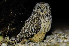Coruja-do-nabal | Short-eared owl | Asio flammeus by alvaronunes - ViewBug.com