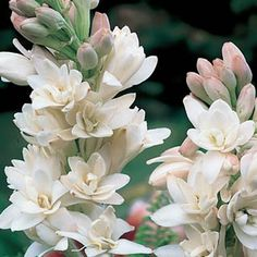 Double Tuberose You'll enjoy the beautiful fragrance of these double white blooms with soft pink tips. Perfect to grow in containers and makes a great cut flower, too! Plant in moist, well-drained soil.