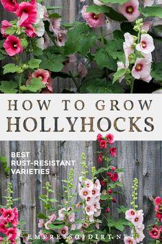 Backyard Garden Landscape, Garden Yard Ideas, Garden Landscaping, Indoor Garden, Landscaping Ideas, Indoor Plants, Outdoor Gardens, Growing Hollyhocks, Hollyhocks Flowers
