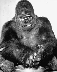 Gargantua the Great, the famous giant gorilla featured in the Ringling Bros. and Barnum & Bailey circus, sustained a scarred face when a sailor threw acid in his face on the ship from Africa. (1940)