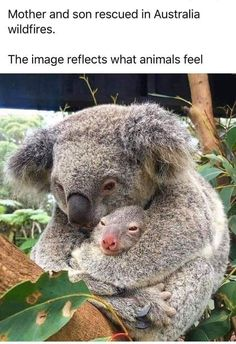 Mother and son Koala rescued in Australia fire. The image reflects that animals feel . Cute Funny Animals, Cute Baby Animals, Animals And Pets, Amazing Animals, Animals Beautiful, Australian Animals, Tier Fotos, Cute Animal Pictures, Wild Life