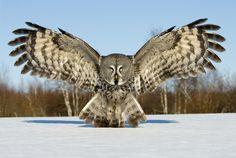 Great Grey Owl by Jari Peltomäki | Photogenic Image