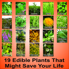 Edible Burdock   Disaster Survival – 19 Edible Wild Plants That Just Might Save Your ...