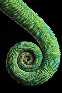 Cameleon Spiral