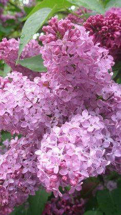 Happy Flowers, Lilac Flowers, All Flowers, Flowers Nature, Pretty Flowers, Lilac Bouquet, Syringa Vulgaris, Lilac Tree, Lilac Blossom