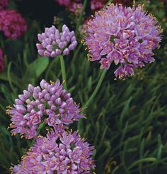Allium senescens var. glaucum | Fine Gardening, wish list