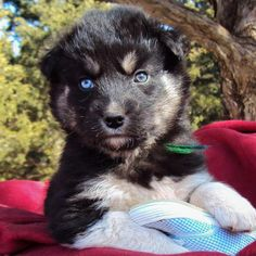 Another German Shepherd/Husky mix... Seriously... I need one NOW