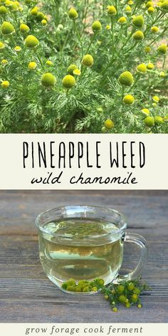 Pineapple weed, also known as wild chamomile, is easy to forage for. It is a common plant that is edible and had many medicinal benefits! planting Foraging for Pineapple Weed (Wild Chamomile) + Pineapple Weed Tea Healing Herbs, Medicinal Plants, Weed Tea, Chamomile Growing, Herbs For Health, Health Tips, Health Benefits, Edible Wild Plants, Wild Edibles