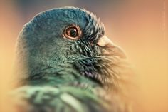 """Pigeon"" by Dariusz Lakomy"