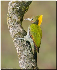 Birds Greater Yellownape Woodpecker (Chrysophlegma flavinucha)