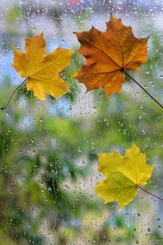 I love this picture.I also love the smell of rain.well except for when it smells fishy.then ISH! Autumn Rain, Autumn Leaves, Maple Leaves, Fall Wallpaper, Flower Wallpaper, Autumn Photography, Color Photography, I Love Rain, Autumn Scenery