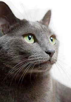 If you are looking for a truly unique and beautiful kitten you don't have to look much further than the Russian Blue breed. Delightful Discover The Russian Blue Cats Ideas. Beautiful Cats, Animals Beautiful, Cute Animals, Wallpaper Gatos, Nebelung Cat, Korat Cat, Sphynx Cat, Russian Blue Kitten, Cat In Russian