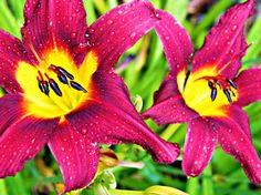 Lilies and Rain - pictures from yesterday