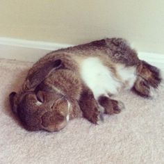 Bunny sleeps in a flop position - May 30, 2012