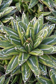 Queen Victoriae Century Plant for sale buy Agave victoriae-reginae 'Ring of Gold'