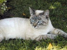 Lynx Point Traditional Siamese.  It's like a siamese with tabby points, pretty cool.