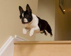 boston terrier flying