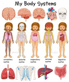 Buy Human Body Systems Diagram by interactimages on GraphicRiver. Human body systems diagram illustration This image was created using Adobe Indesign Included in this package: The Human Body, Human Body Science, Human Body Activities, Human Body Unit, Human Body Systems, Human Body Model, Circulatory System, Respiratory System, Endocrine System