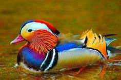Mandarin Duck ~ Birds, Nature ~ Counted Cross Stitch Pattern Chart in Color Pretty Birds, Love Birds, Beautiful Birds, Animals Beautiful, Birds 2, Beautiful Pictures, Beautiful Gorgeous, Simply Beautiful, Canard Mandarin