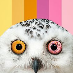 Donut Owl