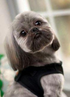 Cute Shih Tzu...what a face!