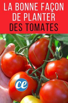 Voici+LA+BONNE+FAÇON+de+Planter+des+Tomates+(Et+Avoir+des+Plants+de+2+Mètres+de+Haut).
