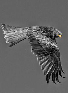 Wild Hawk beautiful bird of prey my kinda bird All Birds, Birds Of Prey, Love Birds, Pretty Birds, Beautiful Birds, Animals Beautiful, Exotic Birds, Colorful Birds, Foto Art