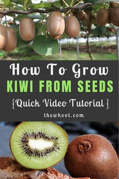 Grow A Kiwi Fruit From Seed Easy Video Instructions Kiwi Growing, Growing Tree, Growing Plants, Backyard Farming, Easy Video, Fruit Trees, Garden Plants, Seeds, Cuttings
