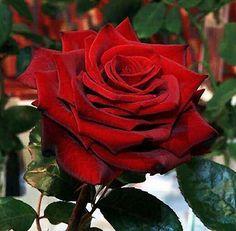 rosa-linda-vermelha