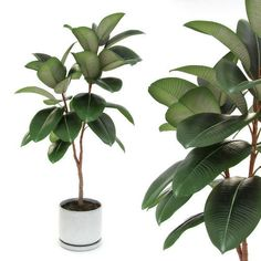 Ficus elastica decora medium Model available on Turbo Squid, the world's leading provider of digital models for visualization, films, television, and games. Ficus Elastica, Outdoor Plants, Potted Plants, Trees To Plant, Plant Leaves, Rubber Plant, Plants Are Friends, Free Plants, Photoshop