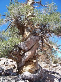 Ancient Limber Pine in San Bernardino National Forest