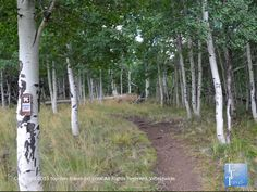 Beautiful #aspen trees lining the Aspen Nature loop trail in #Flagstaff Arizona